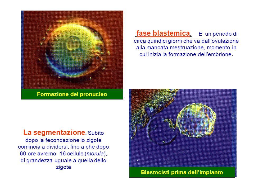 Formazione del pronucleo Blastocisti prima dell'impianto