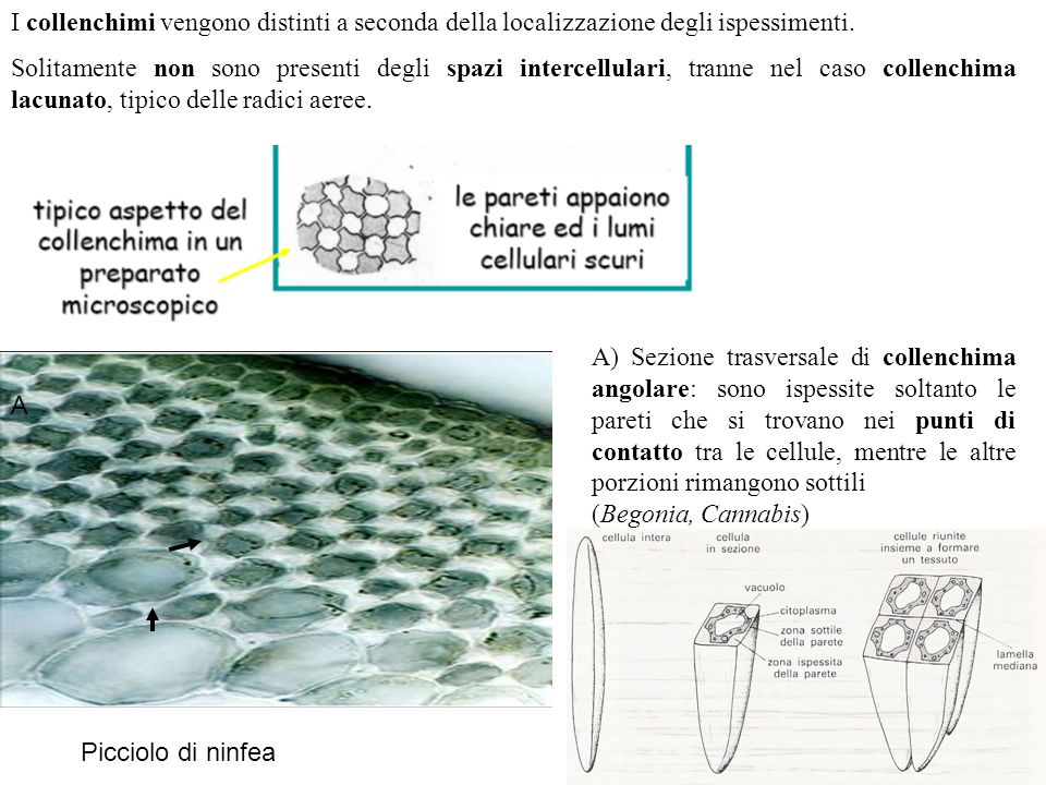 I collenchimi vengono distinti a seconda della localizzazione degli ispessimenti.