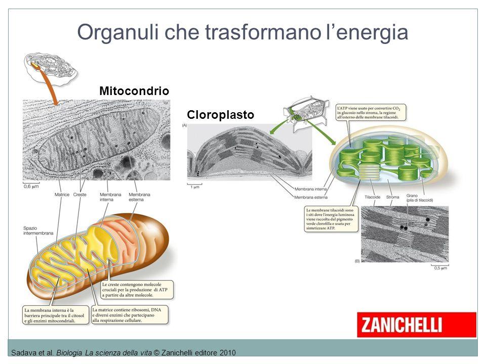 Organuli che trasformano l'energia