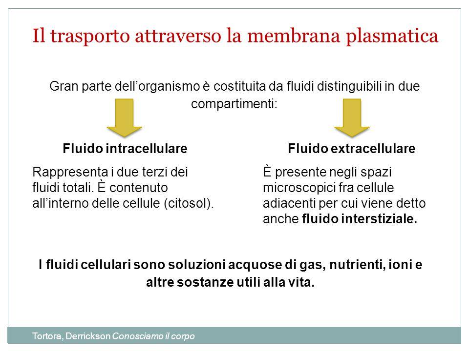 Fluido intracellulare Fluido extracellulare