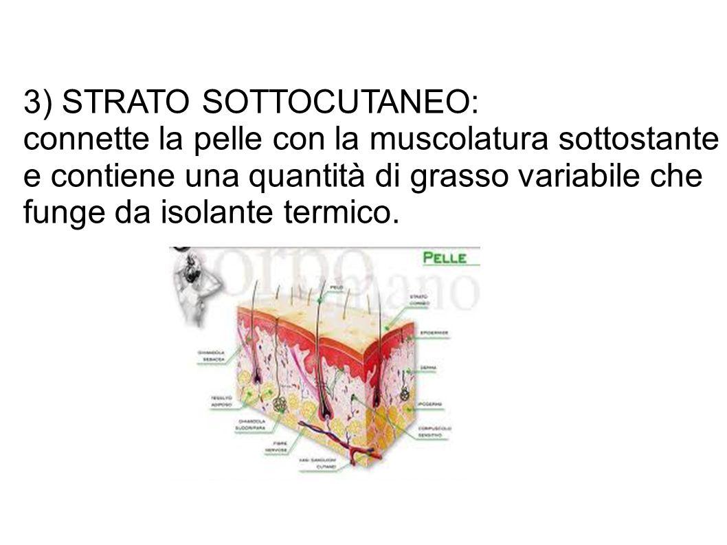 3) STRATO SOTTOCUTANEO: