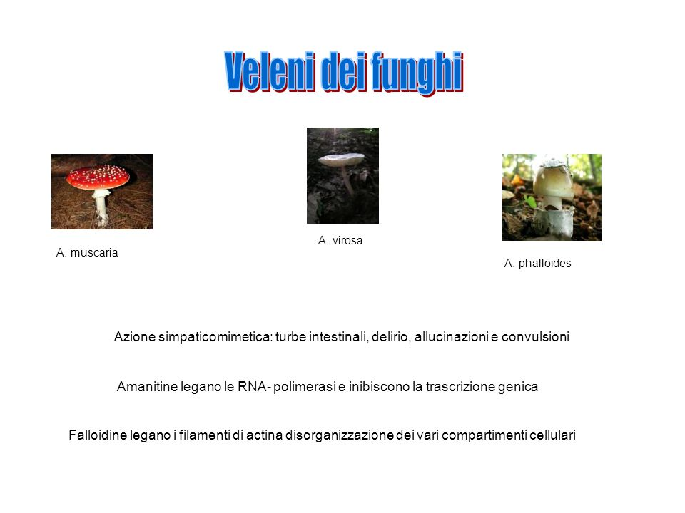 Veleni dei funghi A. virosa. A. muscaria. A. phalloides. Azione simpaticomimetica: turbe intestinali, delirio, allucinazioni e convulsioni.