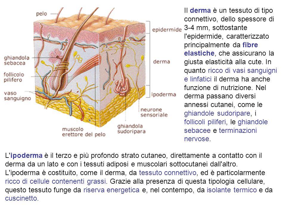 Il derma è un tessuto di tipo connettivo, dello spessore di 3-4 mm, sottostante l epidermide, caratterizzato principalmente da fibre elastiche, che assicurano la giusta elasticità alla cute. In quanto ricco di vasi sanguigni e linfatici il derma ha anche funzione di nutrizione. Nel derma passano diversi annessi cutanei, come le ghiandole sudoripare, i follicoli piliferi, le ghiandole sebacee e terminazioni nervose.