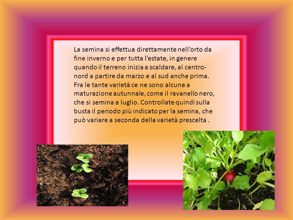 La semina si effettua direttamente nell'orto da fine inverno e per tutta l'estate, in genere quando il terreno inizia a scaldare, al centro-nord a partire da marzo e al sud anche prima.