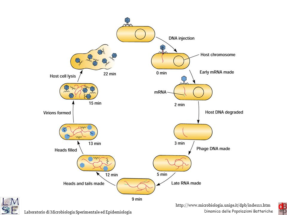 The T4 infectious cycle