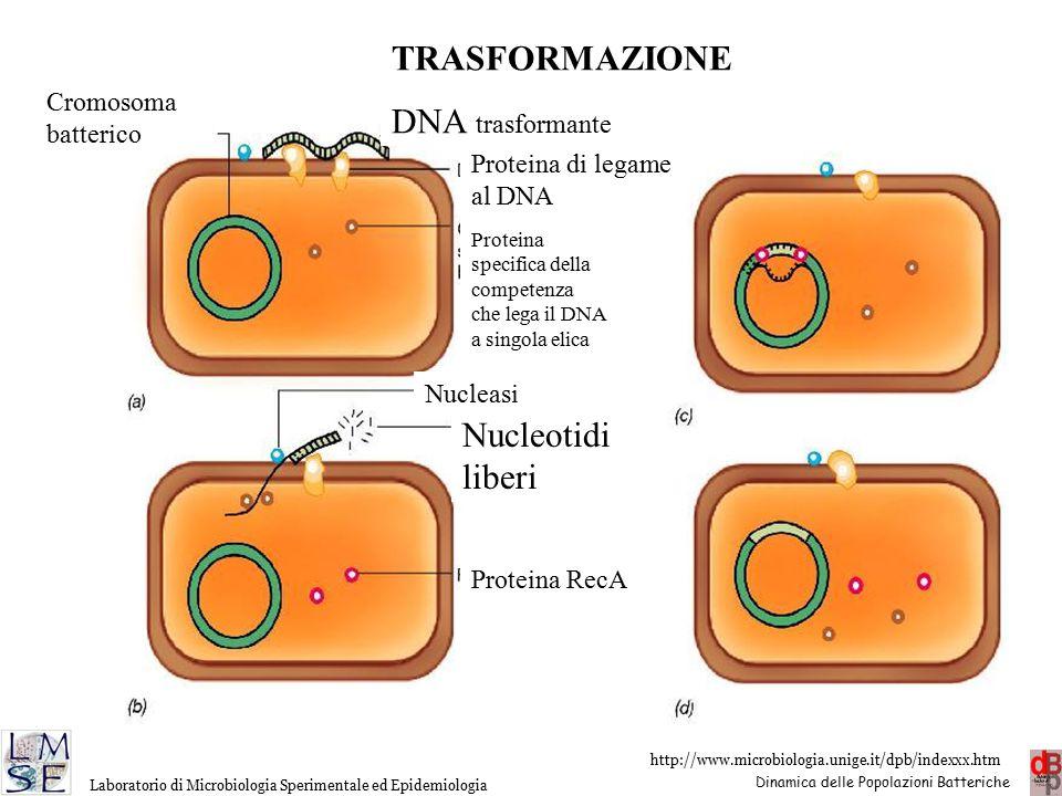 TRASFORMAZIONE DNA trasformante Nucleotidi liberi Cromosoma batterico