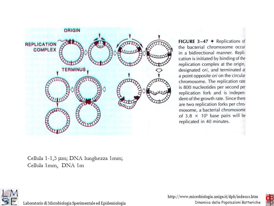 Cellula 1-1,5 mm; DNA lunghezza 1mm;