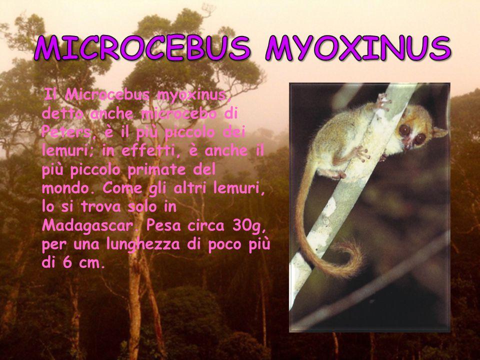 MICROCEBUS MYOXINUS