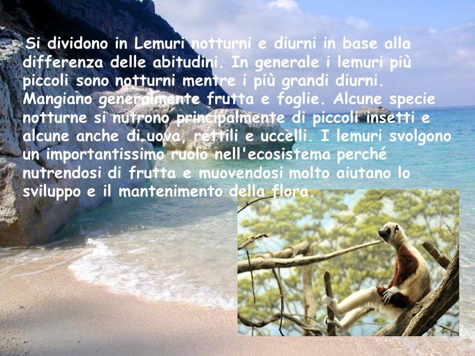 Si dividono in Lemuri notturni e diurni in base alla differenza delle abitudini.