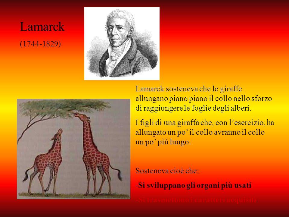 Lamarck (1744-1829) Lamarck sosteneva che le giraffe allungano piano piano il collo nello sforzo di raggiungere le foglie degli alberi.