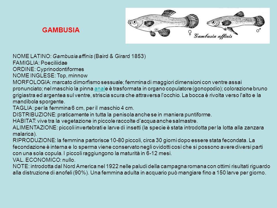 GAMBUSIA
