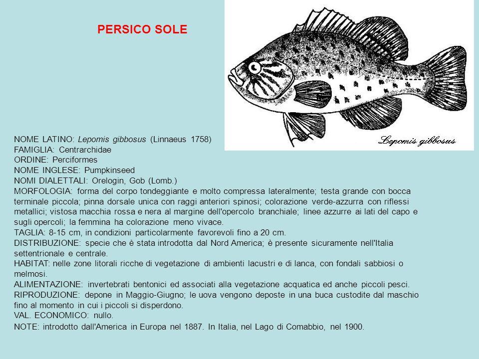 PERSICO SOLE