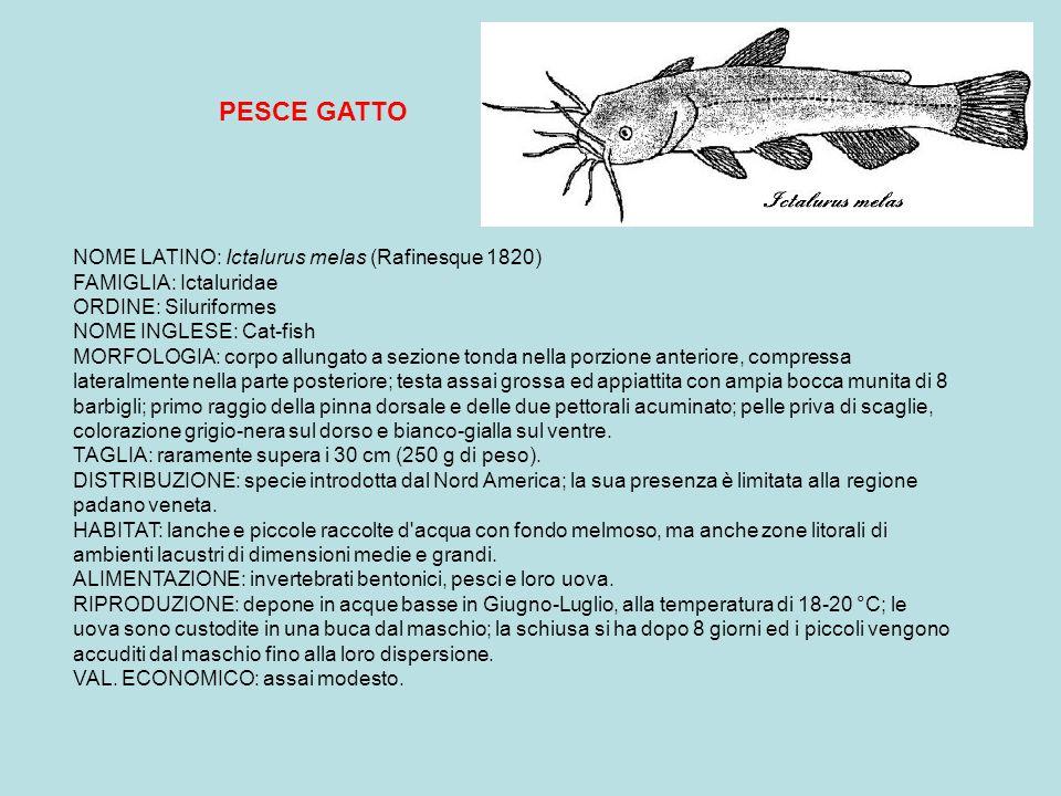 PESCE GATTO