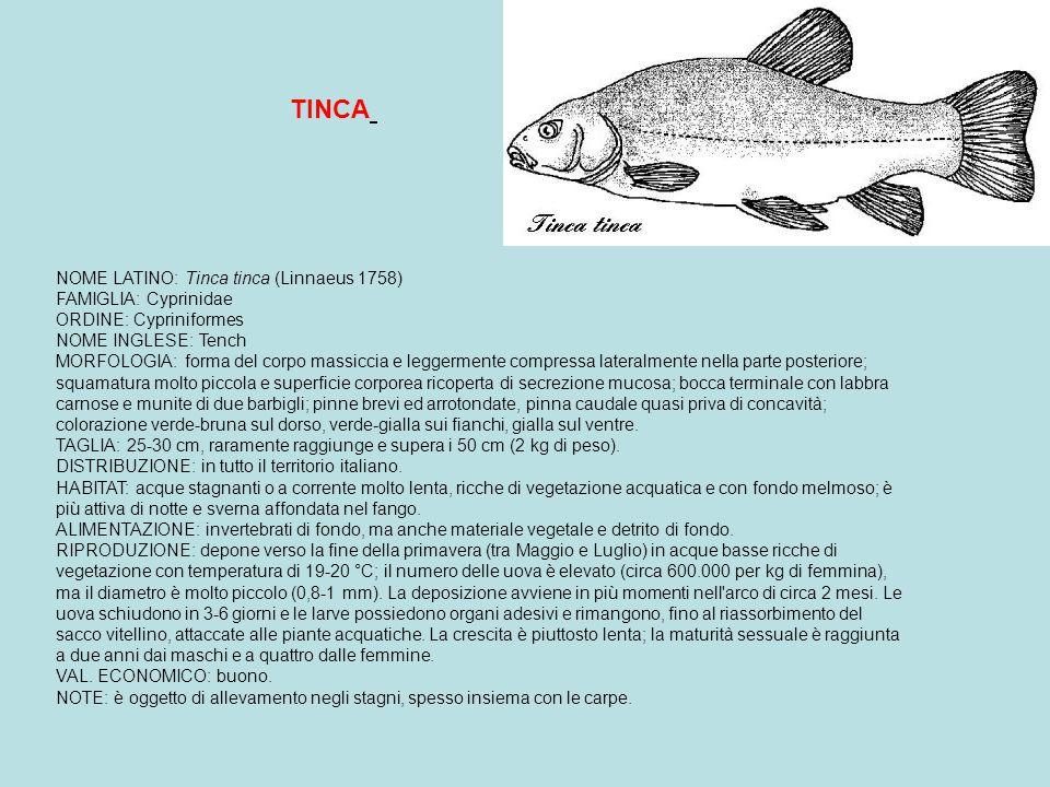 TINCA