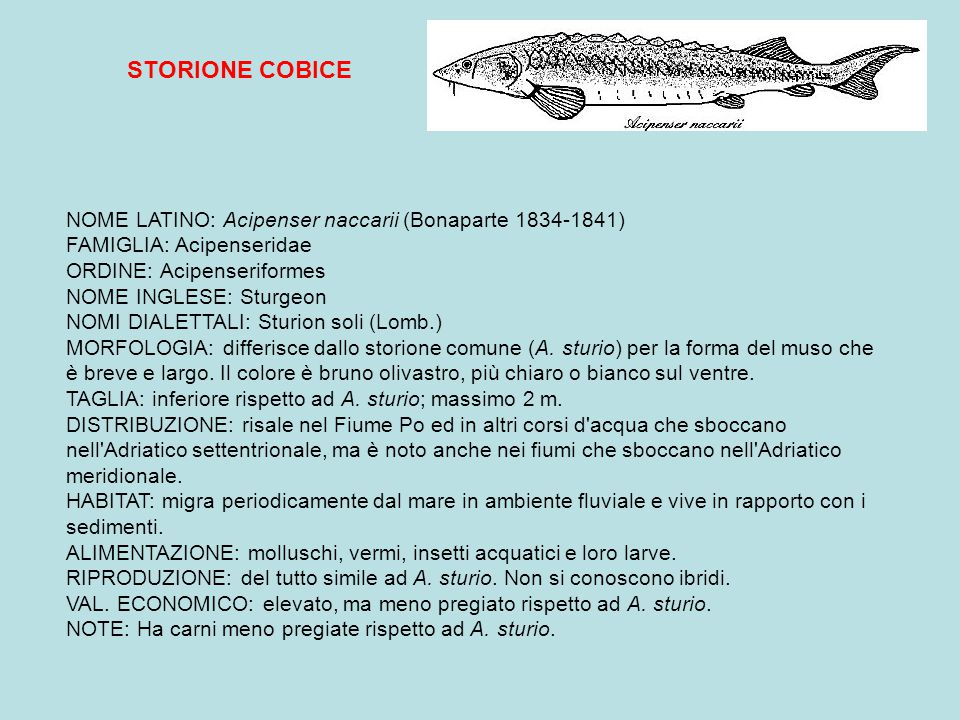 STORIONE COBICE