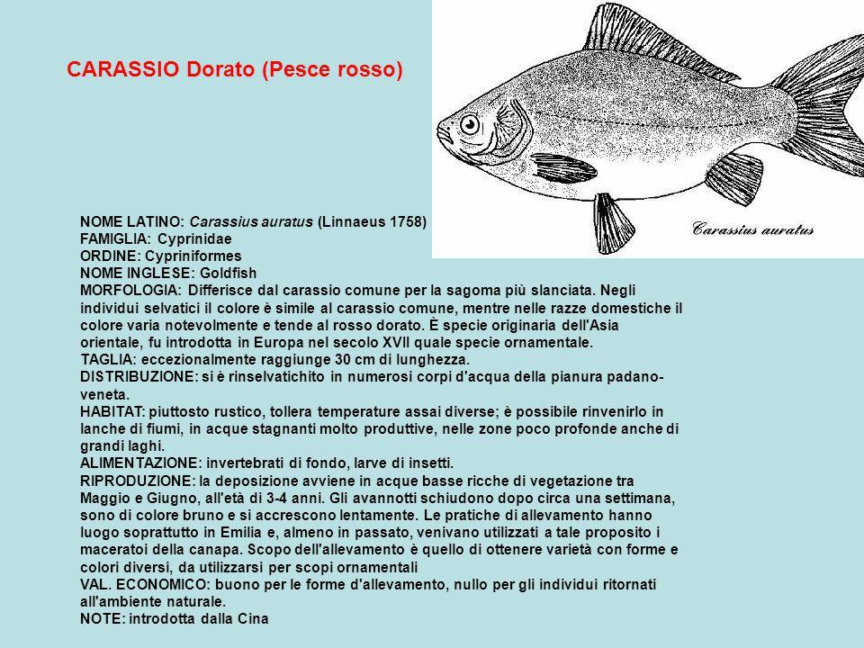 CARASSIO Dorato (Pesce rosso)