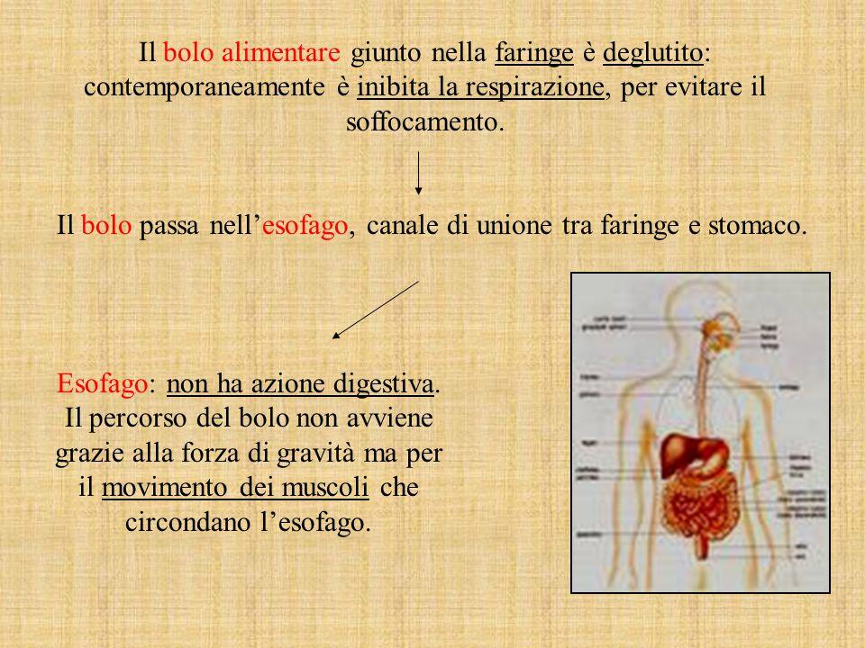 Il bolo passa nell'esofago, canale di unione tra faringe e stomaco.