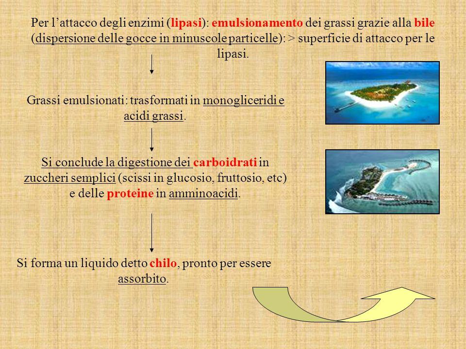 Grassi emulsionati: trasformati in monogliceridi e acidi grassi.