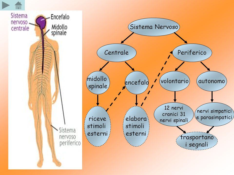 Sistema Nervoso Centrale Periferico midollo spinale encefalo