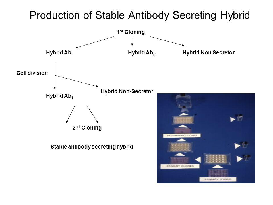 Production of Stable Antibody Secreting Hybrid