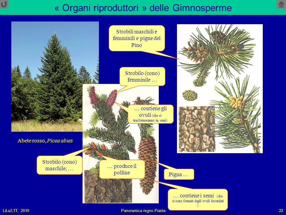 « Organi riproduttori » delle Gimnosperme