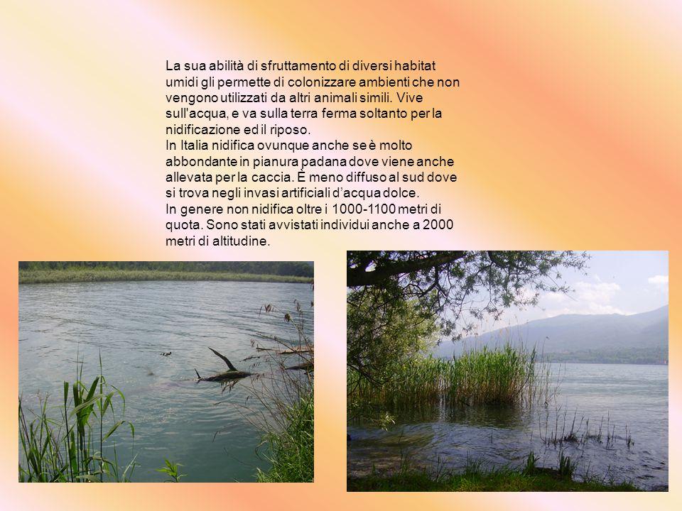 La sua abilità di sfruttamento di diversi habitat umidi gli permette di colonizzare ambienti che non vengono utilizzati da altri animali simili. Vive sull acqua, e va sulla terra ferma soltanto per la nidificazione ed il riposo.