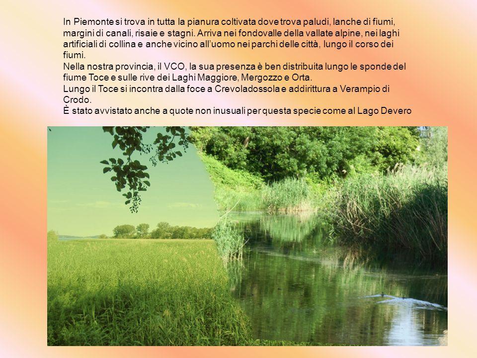 In Piemonte si trova in tutta la pianura coltivata dove trova paludi, lanche di fiumi, margini di canali, risaie e stagni. Arriva nei fondovalle della vallate alpine, nei laghi artificiali di collina e anche vicino all'uomo nei parchi delle città, lungo il corso dei fiumi.
