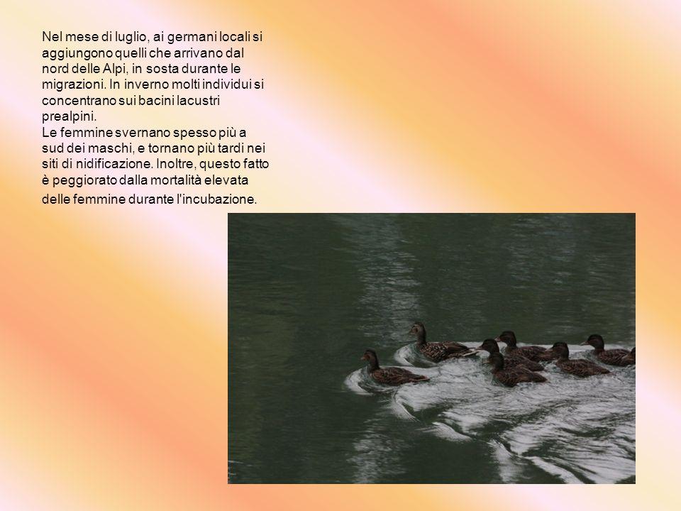 Nel mese di luglio, ai germani locali si aggiungono quelli che arrivano dal nord delle Alpi, in sosta durante le migrazioni. In inverno molti individui si concentrano sui bacini lacustri prealpini.