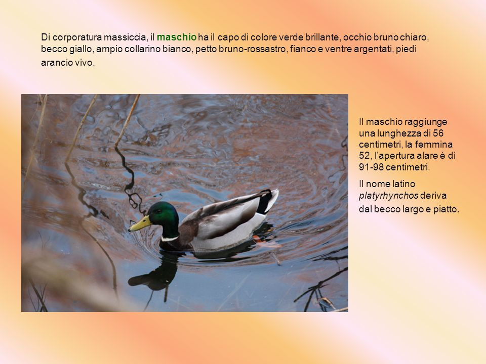 Di corporatura massiccia, il maschio ha il capo di colore verde brillante, occhio bruno chiaro, becco giallo, ampio collarino bianco, petto bruno-rossastro, fianco e ventre argentati, piedi arancio vivo.