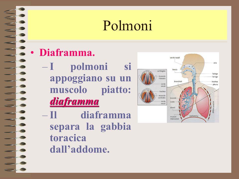 Polmoni Diaframma. I polmoni si appoggiano su un muscolo piatto: diaframma.