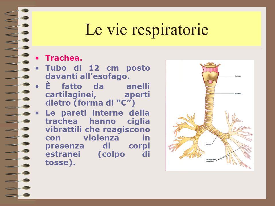 Le vie respiratorie Trachea. Tubo di 12 cm posto davanti all'esofago.