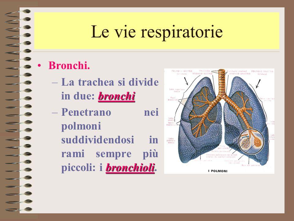 Le vie respiratorie Bronchi. La trachea si divide in due: bronchi
