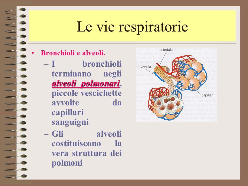 Le vie respiratorie Bronchioli e alveoli. I bronchioli terminano negli alveoli polmonari, piccole vescichette avvolte da capillari sanguigni.