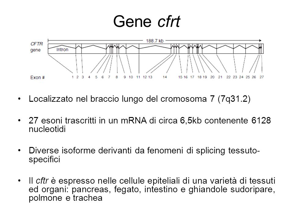 Gene cfrt Localizzato nel braccio lungo del cromosoma 7 (7q31.2)