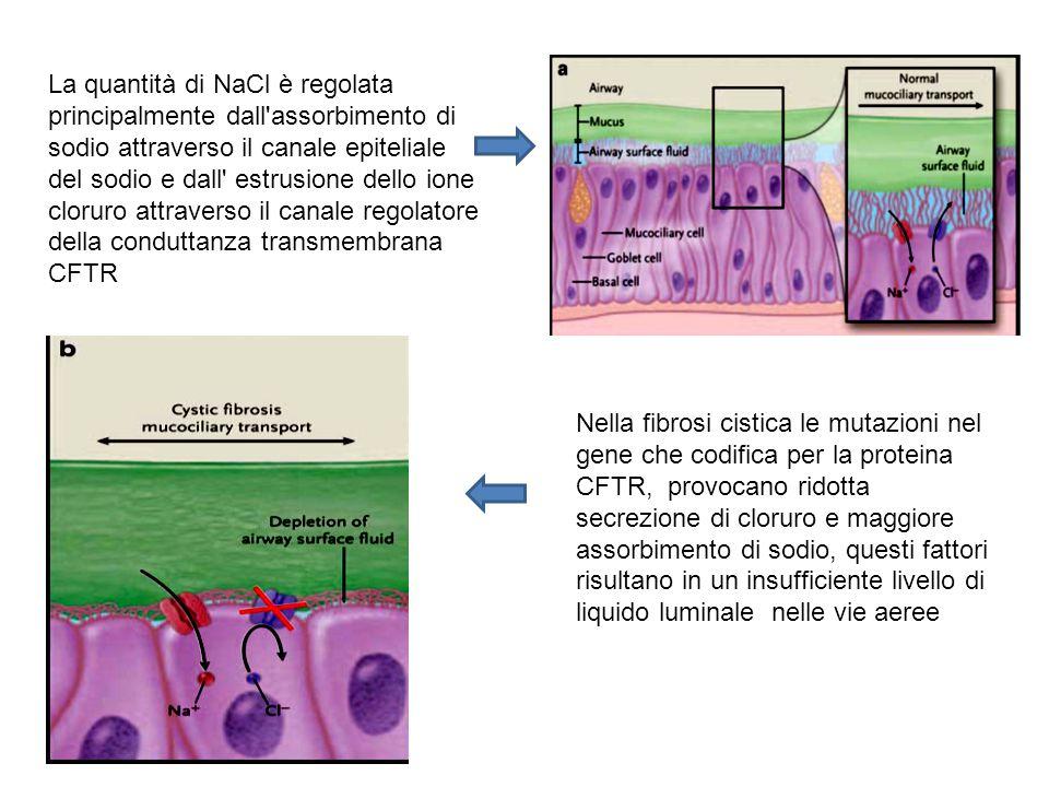 La quantità di NaCl è regolata principalmente dall assorbimento di sodio attraverso il canale epiteliale del sodio e dall estrusione dello ione cloruro attraverso il canale regolatore della conduttanza transmembrana CFTR