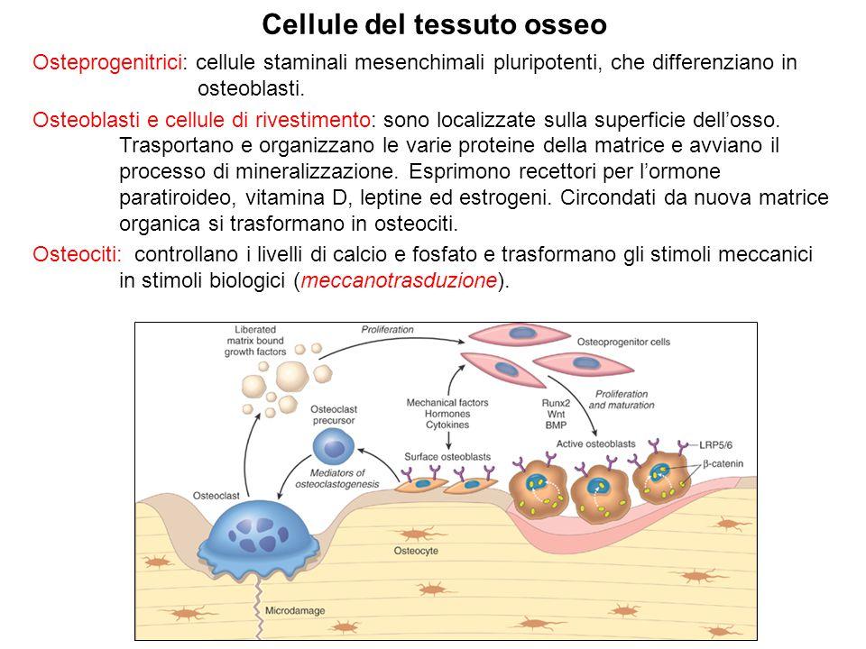 Cellule del tessuto osseo