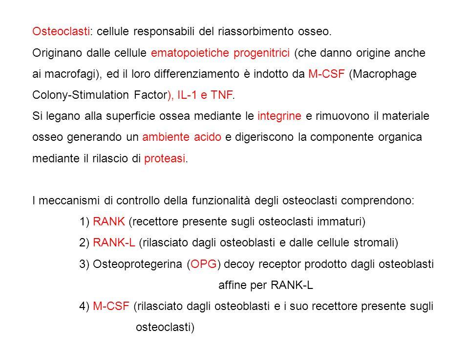 Osteoclasti: cellule responsabili del riassorbimento osseo.