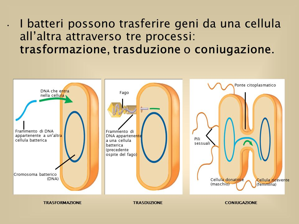 I batteri possono trasferire geni da una cellula all'altra attraverso tre processi: trasformazione, trasduzione o coniugazione.
