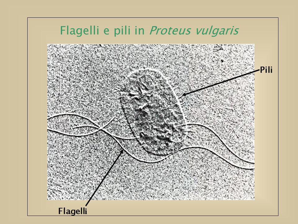 Flagelli e pili in Proteus vulgaris