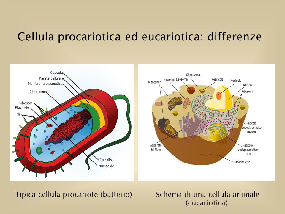Schema di una cellula animale (eucariotica)