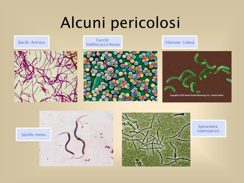 Alcuni pericolosi Bacilli: Antrace Cocchi: Stafilococco Aureo