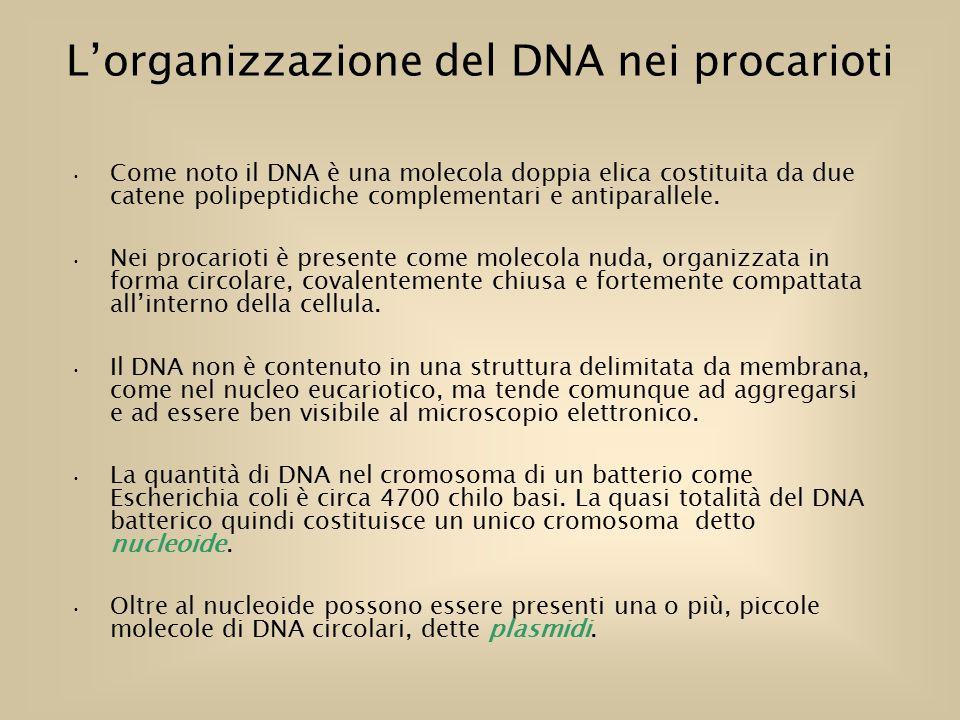 L'organizzazione del DNA nei procarioti