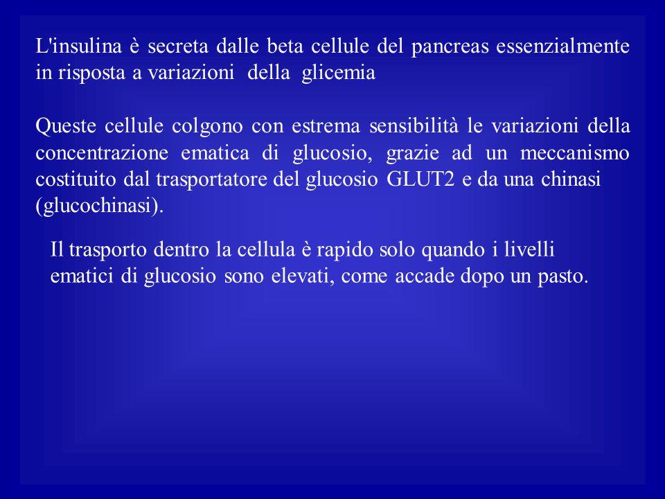 L insulina è secreta dalle beta cellule del pancreas essenzialmente in risposta a variazioni della glicemia
