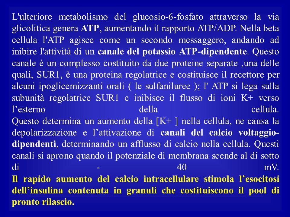 L ulteriore metabolismo del glucosio-6-fosfato attraverso la via glicolitica genera ATP, aumentando il rapporto ATP/ADP.