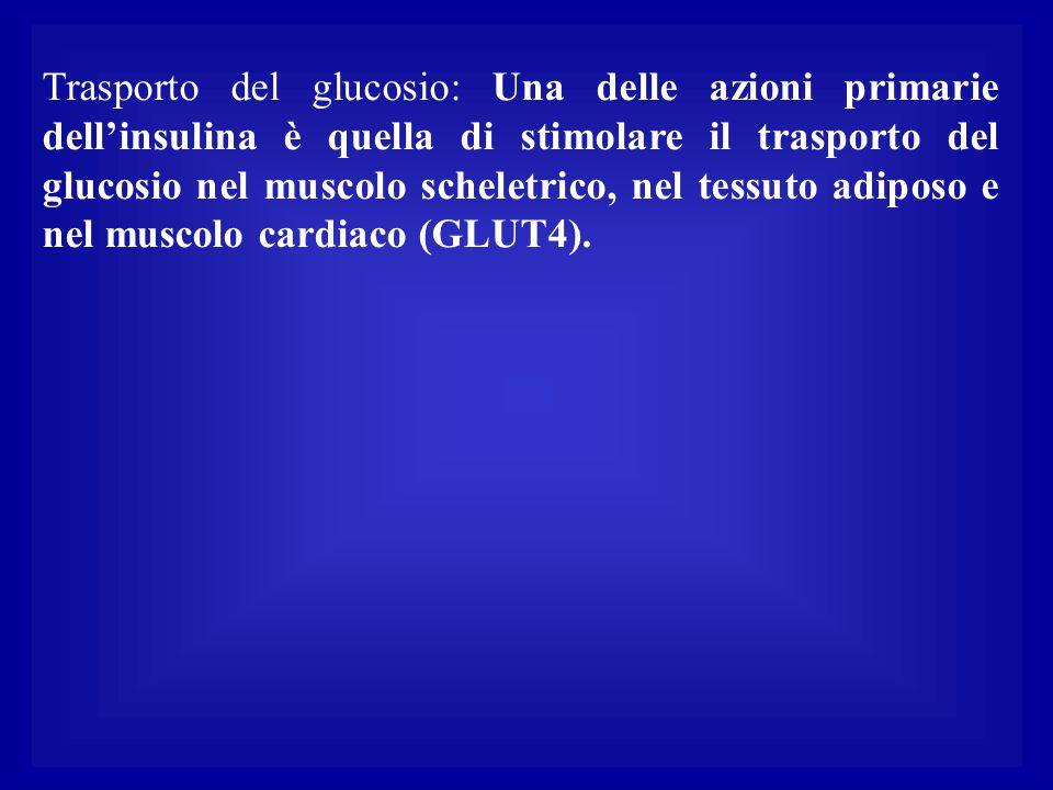 Trasporto del glucosio: Una delle azioni primarie dell'insulina è quella di stimolare il trasporto del glucosio nel muscolo scheletrico, nel tessuto adiposo e nel muscolo cardiaco (GLUT4).