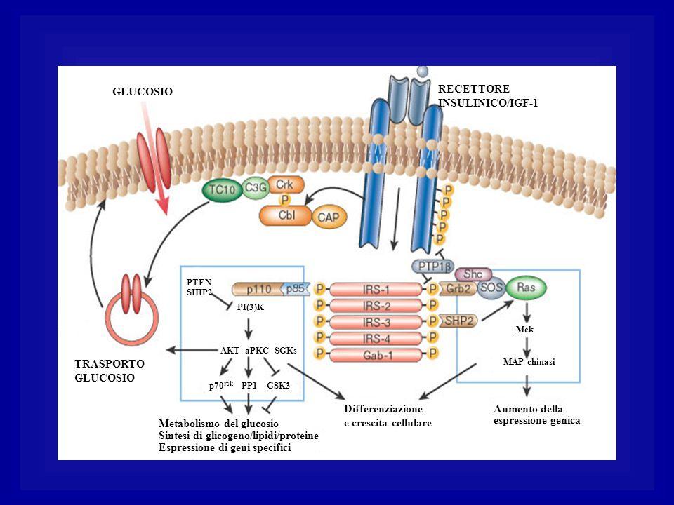 Metabolismo del glucosio Sintesi di glicogeno/lipidi/proteine