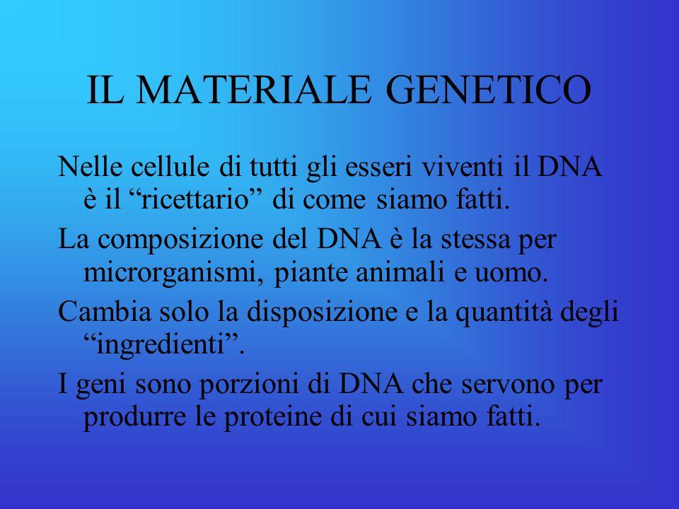 IL MATERIALE GENETICO Nelle cellule di tutti gli esseri viventi il DNA è il ricettario di come siamo fatti.