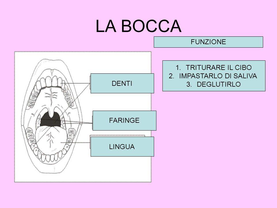 LA BOCCA FUNZIONE TRITURARE IL CIBO IMPASTARLO DI SALIVA DEGLUTIRLO