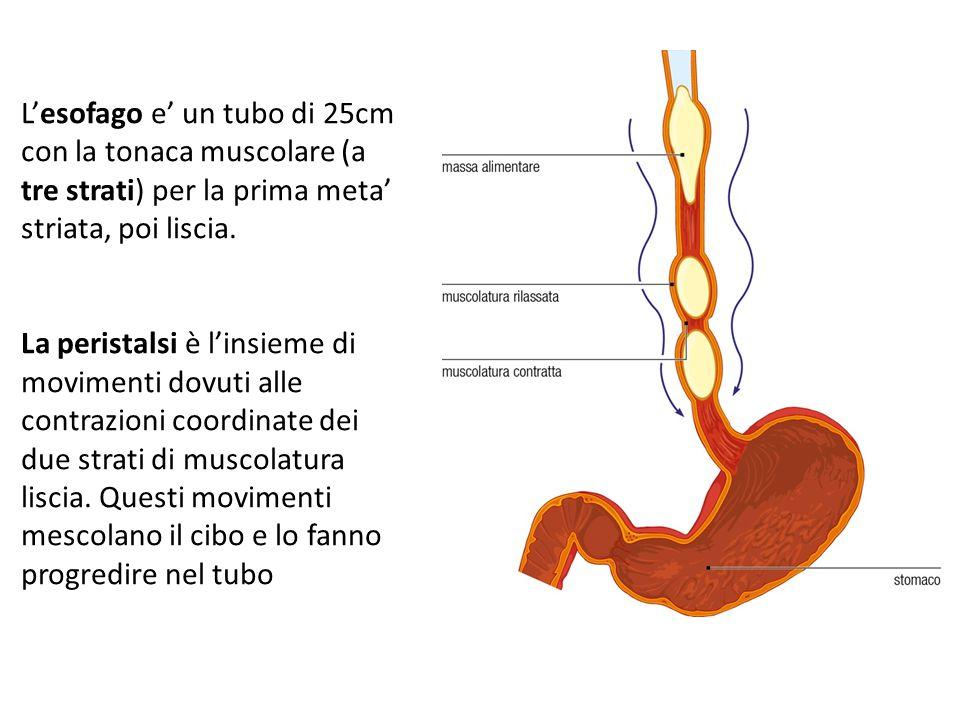 13/09/12 27/11/11. L'esofago e' un tubo di 25cm con la tonaca muscolare (a tre strati) per la prima meta' striata, poi liscia.