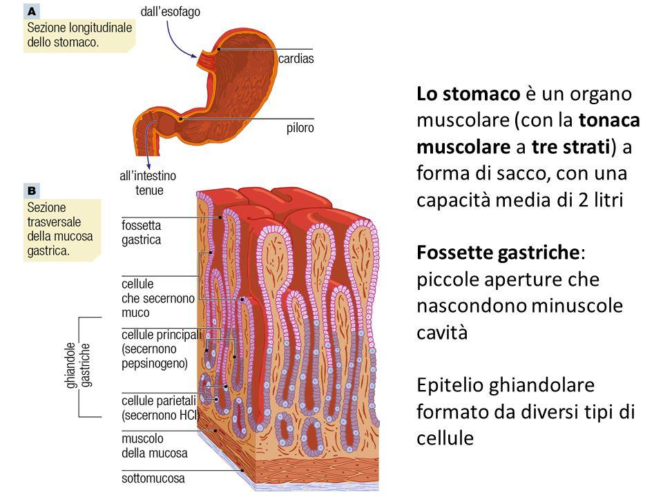 Fossette gastriche: piccole aperture che nascondono minuscole cavità